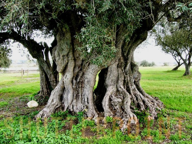 ancient-olive-tree